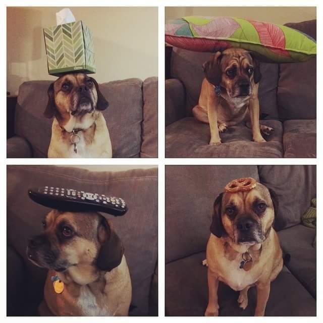 Balancing stuff on my dog's head - meme