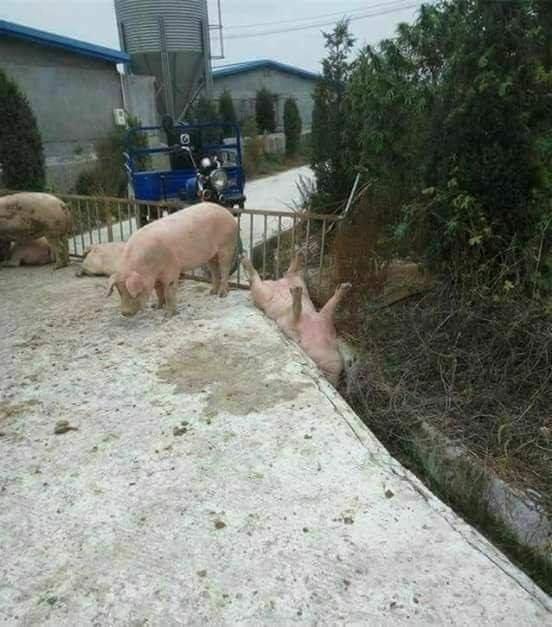 porco entaladofodase - meme