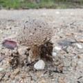Stealth Mushroom