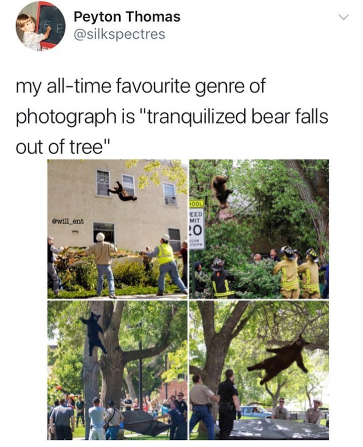 Tranquilized bear falls out of tree - meme