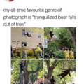 Tranquilized bear falls out of tree