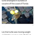 The turtle is a mule