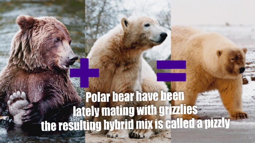 Polar Bears are not going extinct they are just learning to blend in ;) - meme