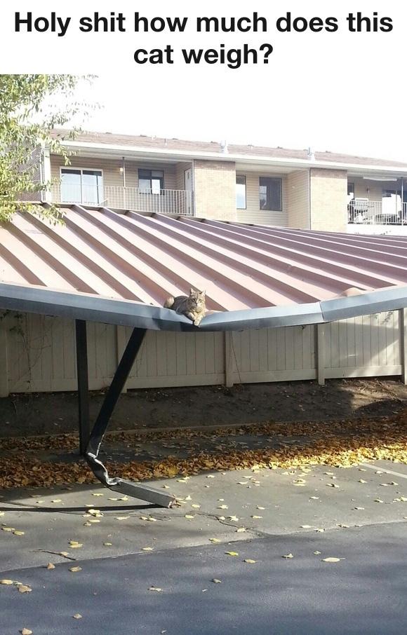 heaviest cat in the world - meme