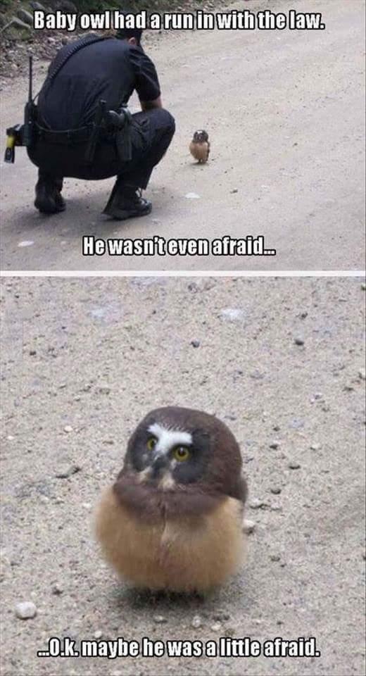 Baby Owl - meme