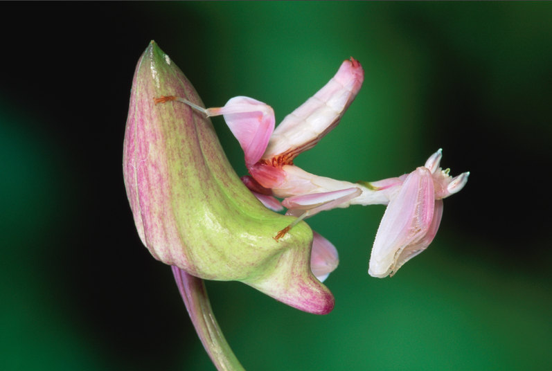 The Orchid Mantis, Everybody - meme