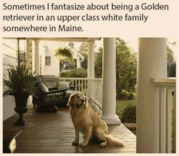 Sometimes I fantasize about being a Golden Retriever in an upper class white family somewhere in Maine - meme