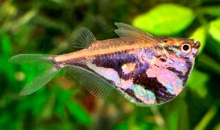 marble hatchetfish - meme