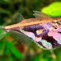 marble hatchetfish
