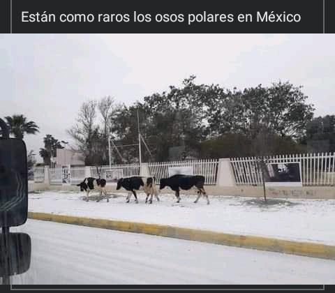 Meme: Están Como Raro Los Osos Polares En México (En Realidad Son Vacas)