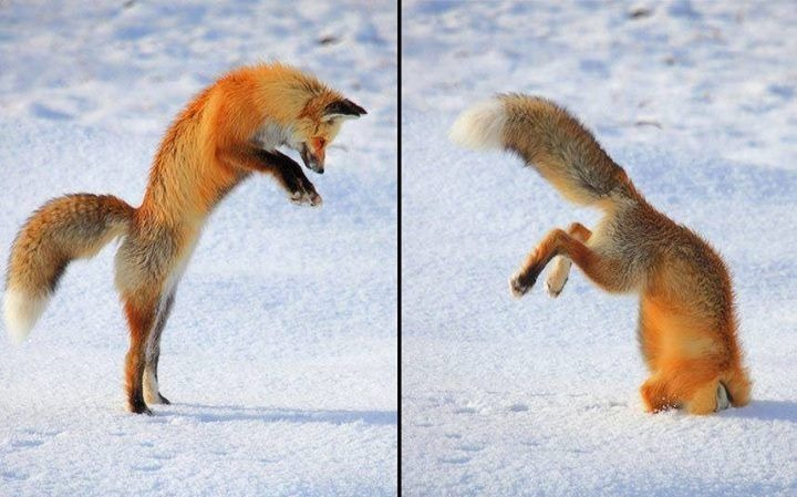 Foxes are just silly - meme