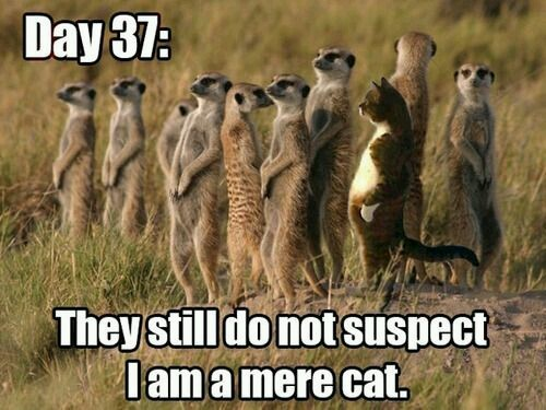 Cat has infiltrated the meerkats - meme