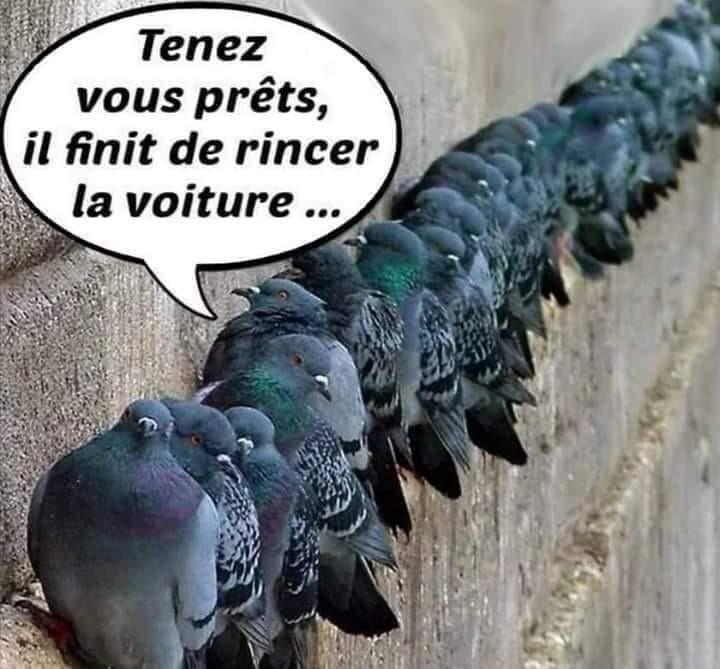 Pigeon à tête chercheuse - meme