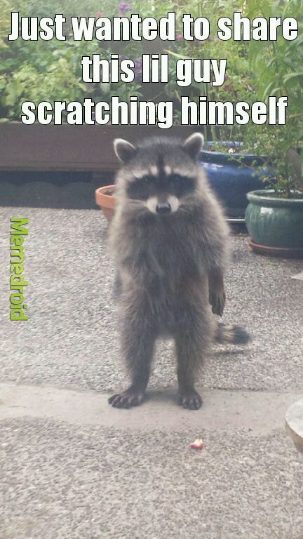 The best cute racoon animals junk memes :) Memedroid