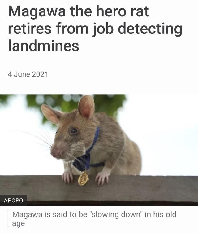 This rat is more successful than many humans - meme