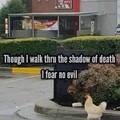 Fearless chicken