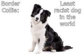 Border collie - meme