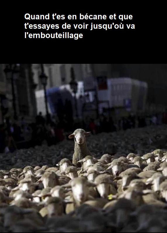 Moutons - meme