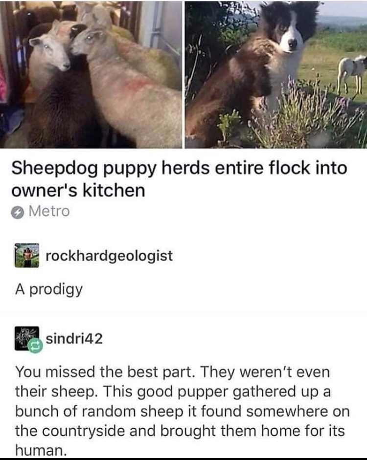 free sheep - meme