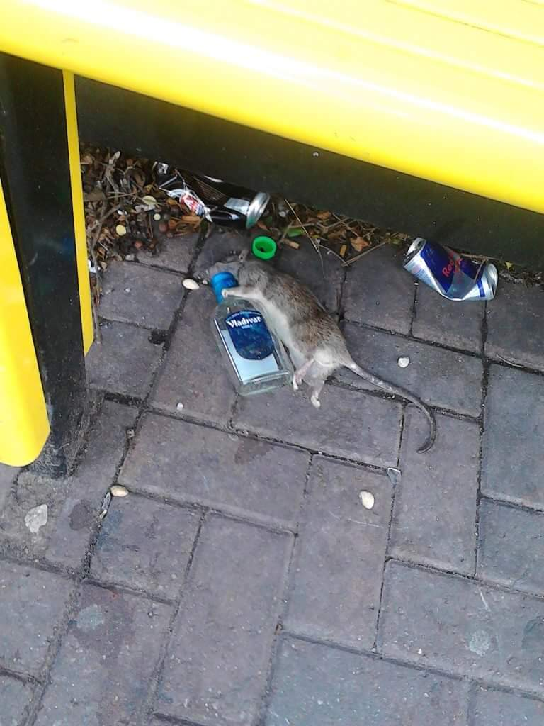 Rat arsed! - meme