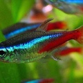 neon tetra (don't confuse it with the cardinal tetra)