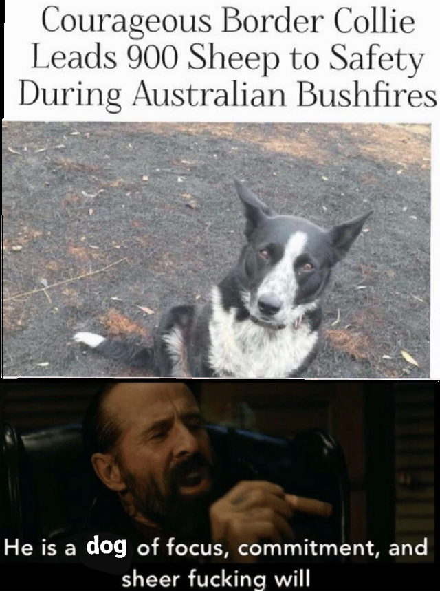 Corageous Border Collie leads 900 sheep to safety during Australian bushfires - meme