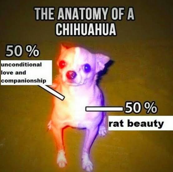 Chihuahua - meme