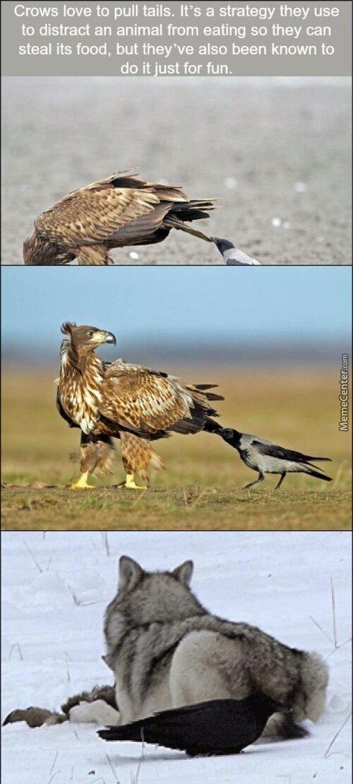 Crow fact - meme