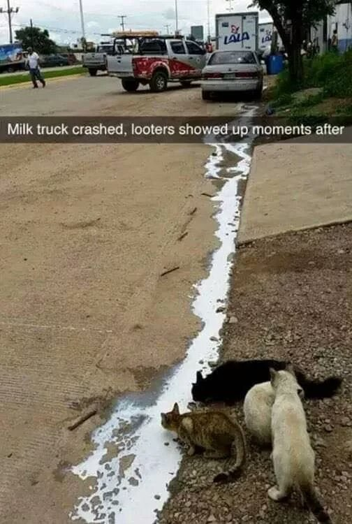Cats taking advantage of a crashed milk truck - meme
