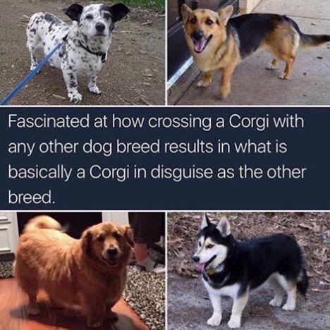 Adorable smol doggo - meme