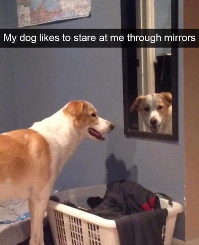 My dog likes to stare at me through mirrors - meme