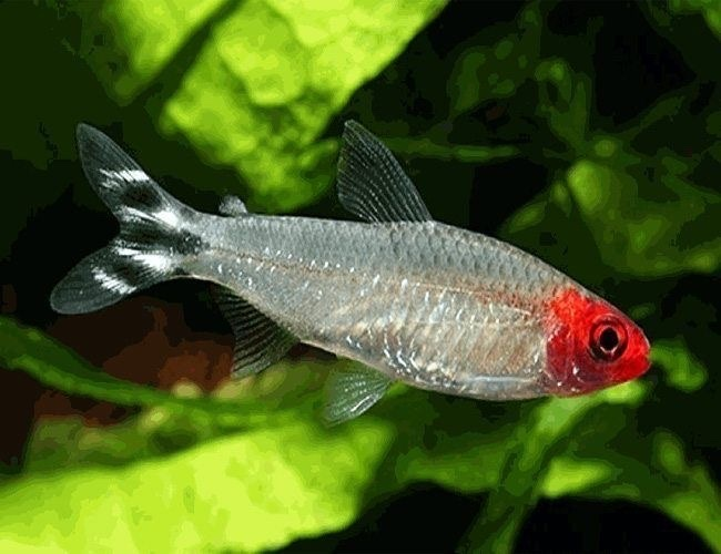 rummy nose tetra (the more red their head the better water quality of the tank, they like to be in huge schools) - meme