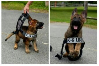 Doggo's first day as a police dog - meme