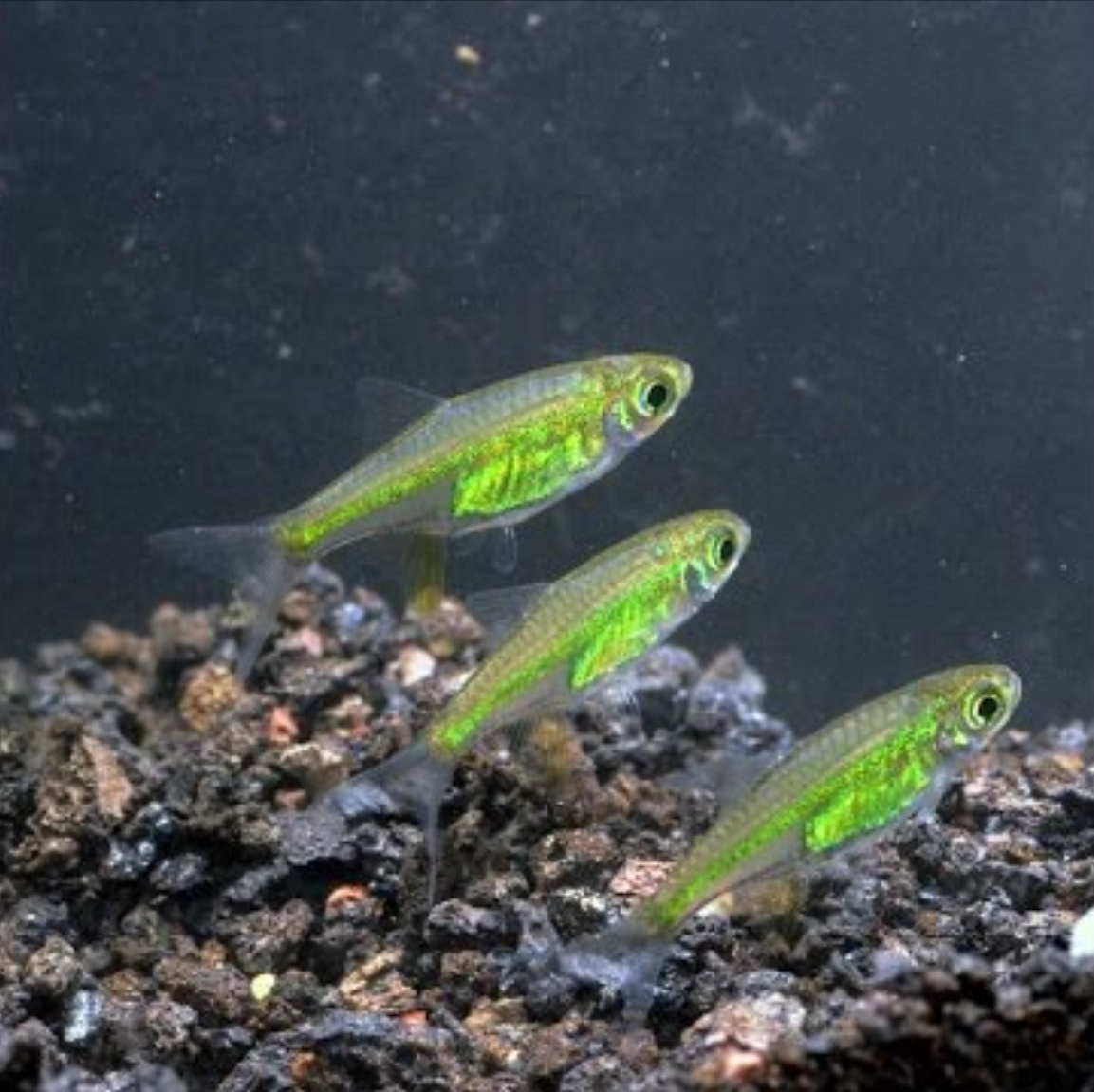 neon green rasbora (quite rare to see green fish) - meme