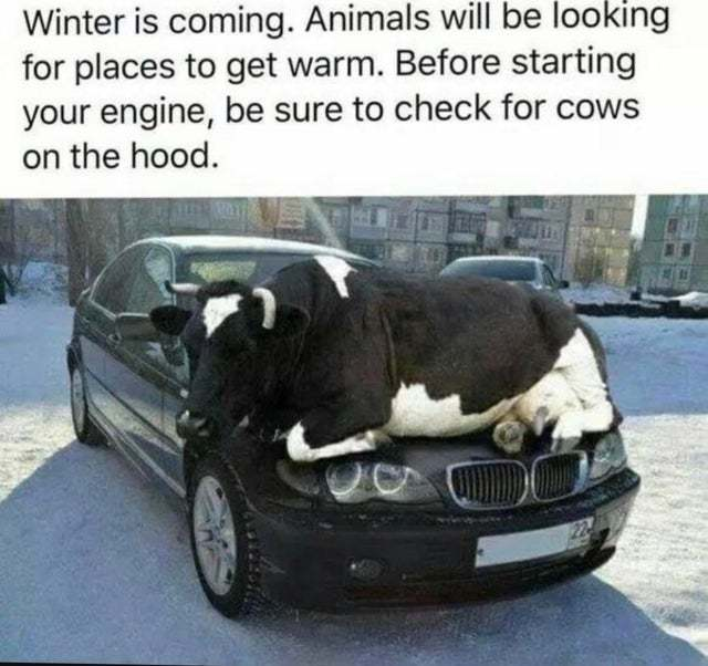 Be sure to check for cows on the hood - meme