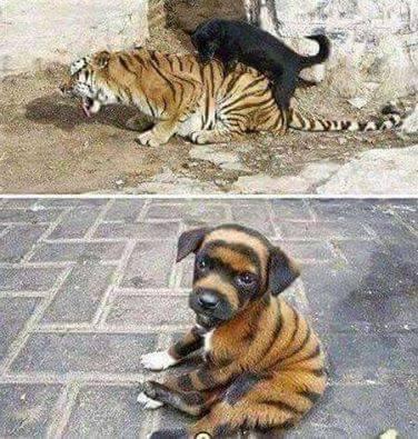 Woooo tigerdog..... - meme