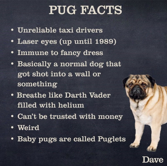 Pugs are the best - meme