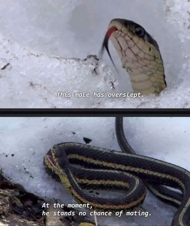 Poor Snake - meme