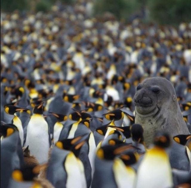 I'm an emperor penguin - meme