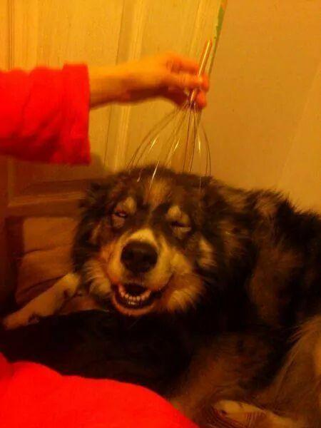 I think my dog likes the head massager - meme