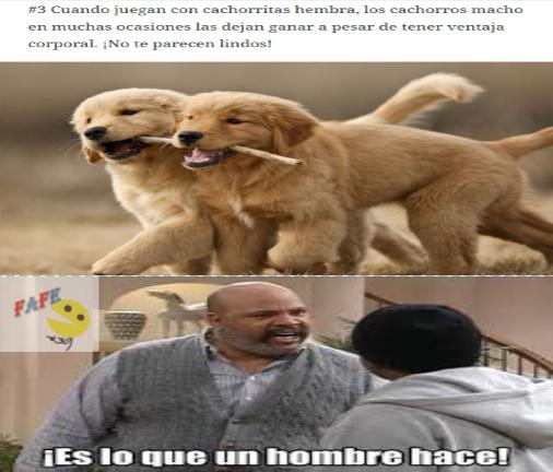 VERDADEROS MACHO ALFA VERGA DE ORO - meme