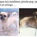 Pinche Pug.