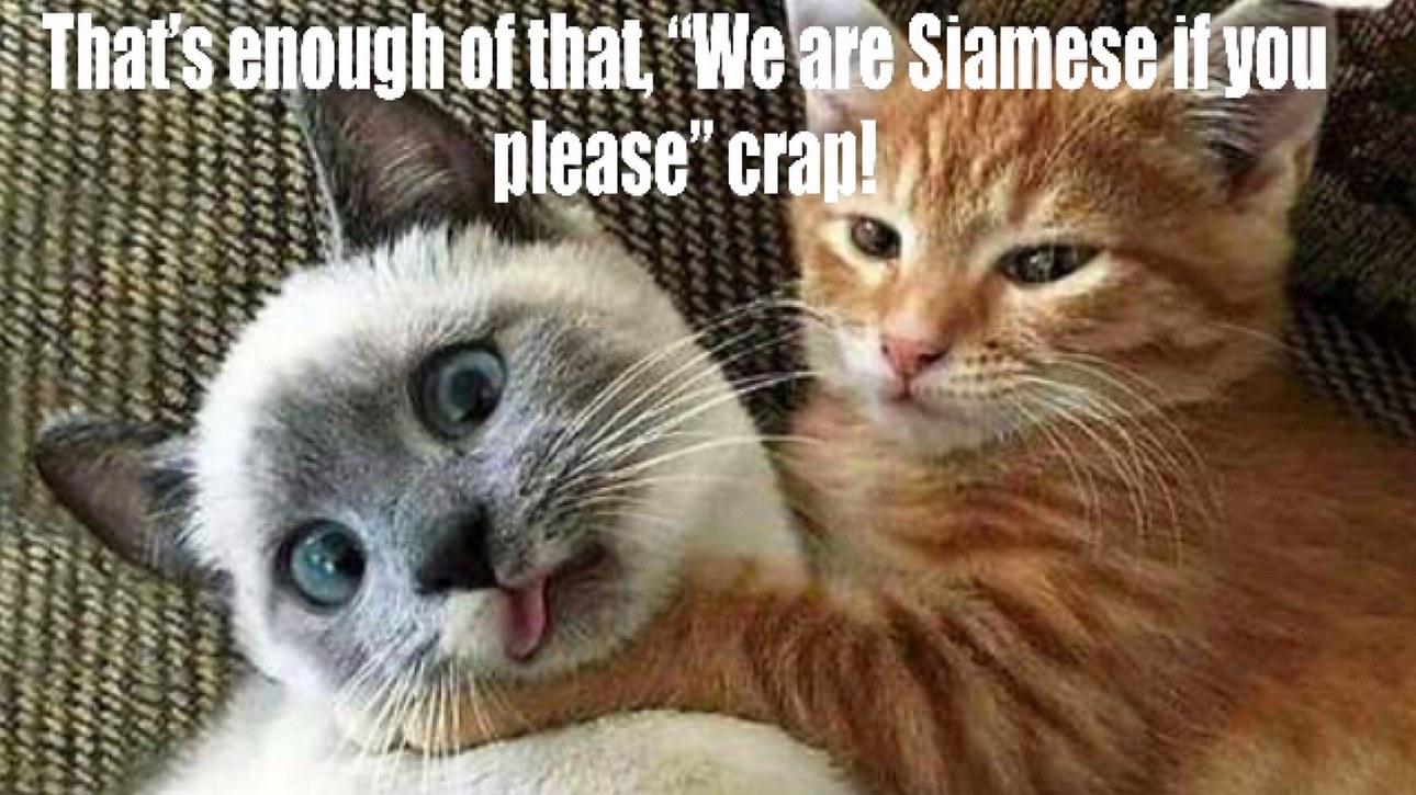 Siamese Sings - meme