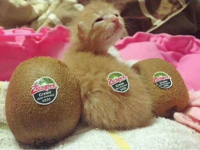 Kiwi fruit kitty - meme