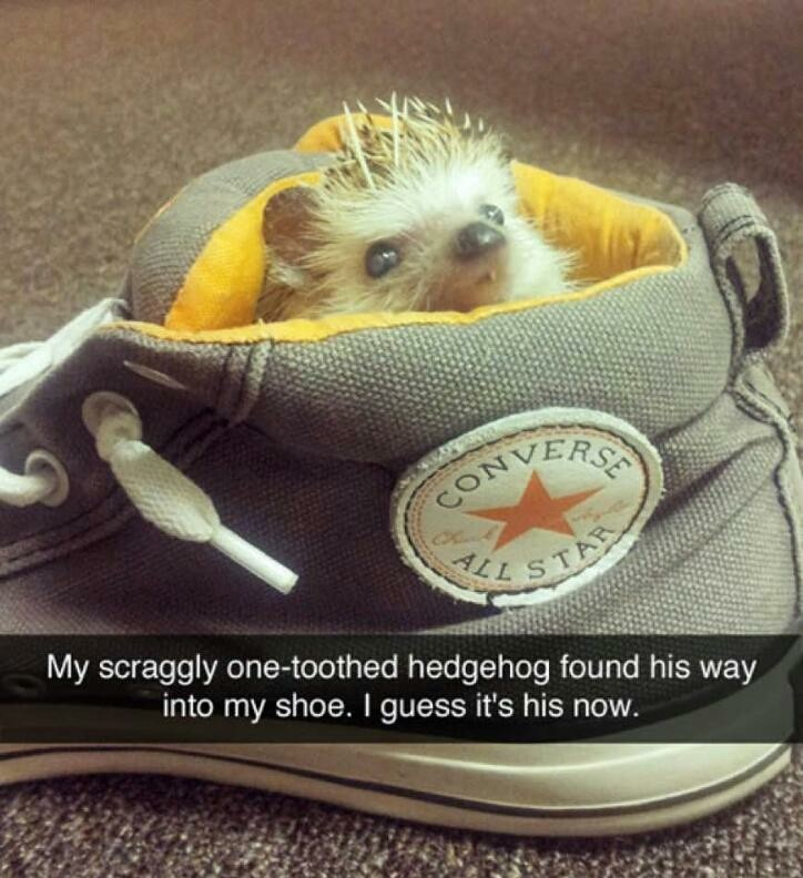 So cute, not my hedgehog though - meme