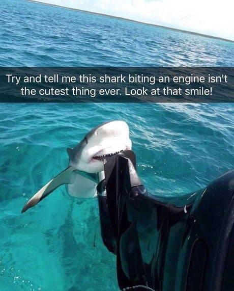 Cutest shark ever - meme