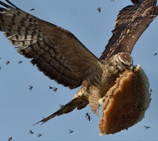 Bird steals part of bee hive. Look at that bad ass face - meme