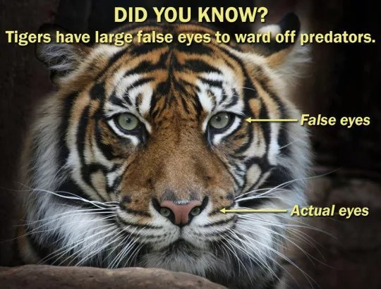The more you know: tigers - meme