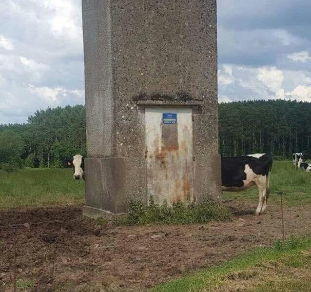 Voici une vraie vache limousine - meme