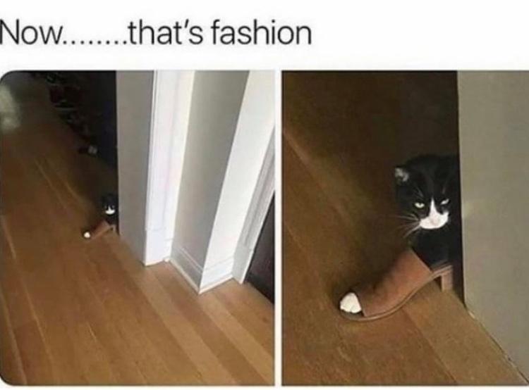 fashion cat - meme